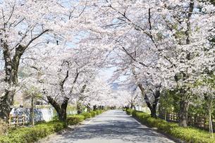 2020年桜シーズンの長瀞北桜通りの写真素材 [FYI04730986]