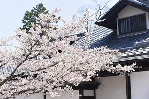 2020年桜シーズンの長瀞北桜通りの写真素材 [FYI04730993]