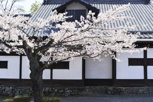 2020年桜シーズンの長瀞北桜通りの写真素材 [FYI04730994]