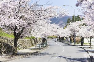 2020年桜シーズンの長瀞北桜通りの写真素材 [FYI04730995]