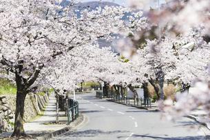2020年桜シーズンの長瀞北桜通りの写真素材 [FYI04730996]