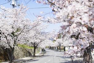 2020年桜シーズンの長瀞北桜通りの写真素材 [FYI04730997]