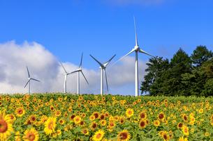 福島県 布引高原 ひまわりと風力発電の写真素材 [FYI04731152]
