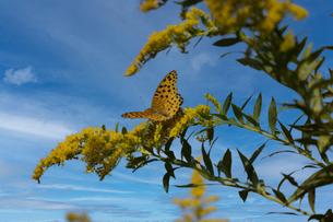 翅を広げてセイタカアワダチソウの花にとまるツマグロヒョウモンの写真素材 [FYI04731436]
