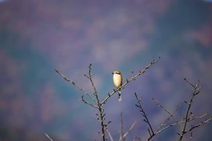 枝にとまる百舌鳥の写真素材 [FYI04731437]