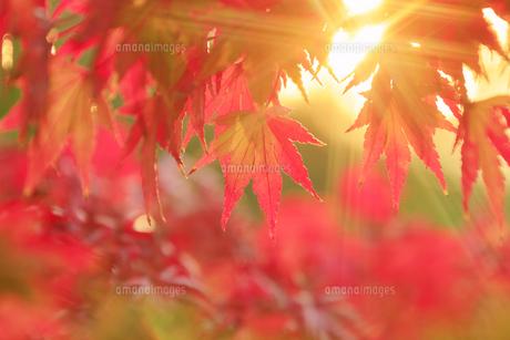 モミジと夕日の木もれ日の写真素材 [FYI04731646]
