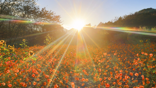 独鈷山麓ひまわり畑のヒマワリとキバナコスモスと夕日の写真素材 [FYI04731911]
