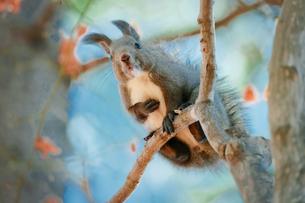 木の上のエゾリスの写真素材 [FYI04731942]