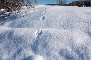 雪の上の野生動物の足跡の写真素材 [FYI04731951]