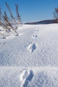 雪の上の野生動物の足跡の写真素材 [FYI04731952]