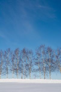 冬のシラカバ並木と青空の写真素材 [FYI04731958]