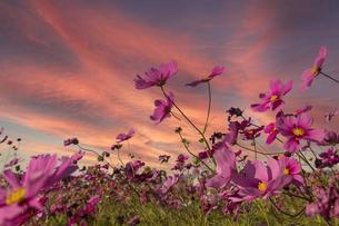 夕暮れのコスモスの花畑の写真素材 [FYI04732013]
