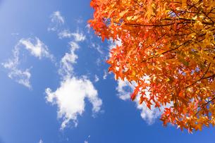様々に色づいた楓の葉と青空の写真素材 [FYI04732014]