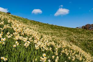 満開の野母崎の水仙の丘の写真素材 [FYI04732031]