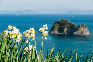 野母崎の水仙と海の写真素材 [FYI04732038]