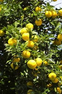 複数の柚子の写真素材 [FYI04732074]