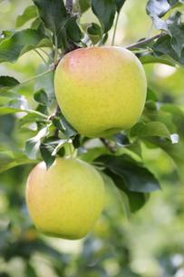 2個の青リンゴの写真素材 [FYI04732083]