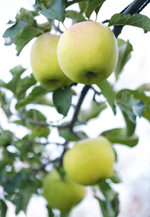 複数の青リンゴの写真素材 [FYI04732085]