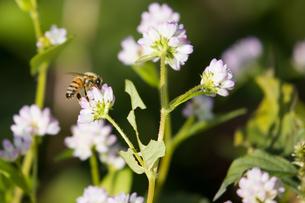 ミゾソバの蜜をとる蜜蜂の写真素材 [FYI04732141]