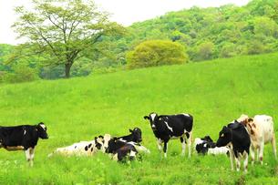 牧場のホルスタイン牛の写真素材 [FYI04732228]