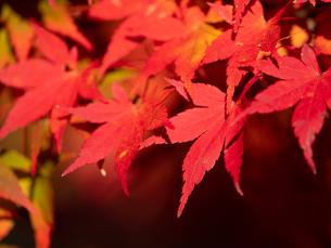 【秋】赤色の楓の葉 紅葉の写真素材 [FYI04732489]