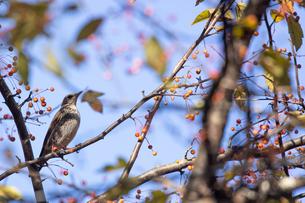 ズミの木の枝にとまるツグミの写真素材 [FYI04732518]