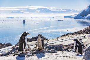 南極・ネコハーバー:ジェンツーペンギンの親子の写真素材 [FYI04732560]