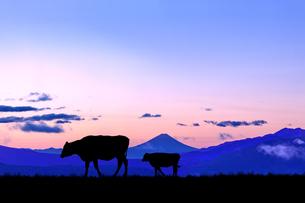 朝焼けの空に富士山のシルエットを背景に、高原の牧場を歩く牛のシルエットの写真素材 [FYI04732665]
