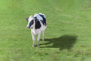 緑の牧草の上を歩く牛の全身の斜め上からの俯瞰の写真素材 [FYI04732669]