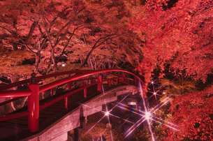 紅葉の河鹿橋 ライトアップの写真素材 [FYI04733376]