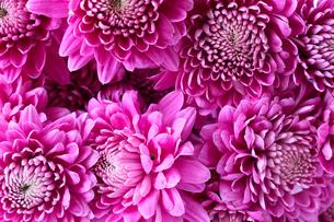 菊の花束のクローズアップ画像の写真素材 [FYI04733565]