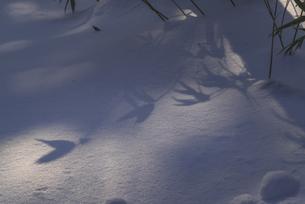 雪上の笹の影の写真素材 [FYI04733570]