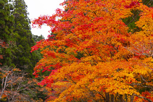高野山の紅葉の写真素材 [FYI04733775]