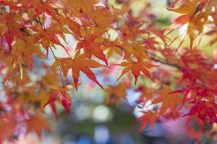 秋の彩り富士河口湖紅葉まつりの写真素材 [FYI04733781]