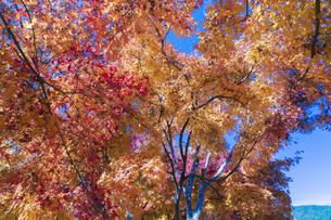 秋の彩り富士河口湖紅葉まつりの写真素材 [FYI04733782]