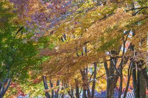 秋の彩り富士河口湖紅葉まつりの写真素材 [FYI04733811]