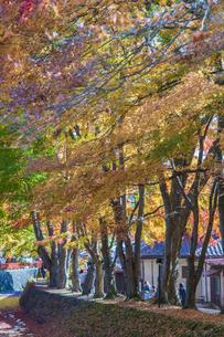 秋の彩り富士河口湖紅葉まつりの写真素材 [FYI04733813]
