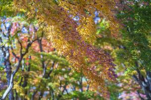 秋の彩り富士河口湖紅葉まつりの写真素材 [FYI04733815]
