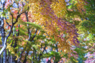 秋の彩り富士河口湖紅葉まつりの写真素材 [FYI04733819]
