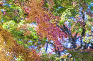 秋の彩り富士河口湖紅葉まつりの写真素材 [FYI04733821]
