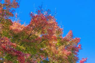 秋の彩り富士河口湖紅葉まつりの写真素材 [FYI04733822]