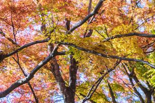 秋の彩り富士河口湖紅葉まつりの写真素材 [FYI04733824]
