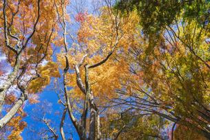 秋の彩り富士河口湖紅葉まつりの写真素材 [FYI04733842]