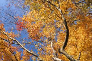 秋の彩り富士河口湖紅葉まつりの写真素材 [FYI04733845]