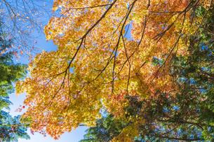 秋の彩り富士河口湖紅葉まつりの写真素材 [FYI04733849]