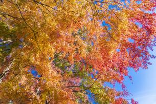 秋の彩り富士河口湖紅葉まつりの写真素材 [FYI04733855]