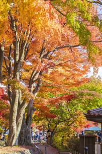 秋の彩り富士河口湖紅葉まつりの写真素材 [FYI04733857]