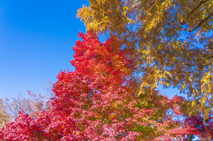 秋の彩り富士河口湖紅葉まつりの写真素材 [FYI04733866]