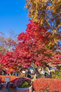 秋の彩り富士河口湖紅葉まつりの写真素材 [FYI04733868]
