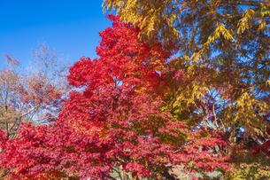 秋の彩り富士河口湖紅葉まつりの写真素材 [FYI04733870]